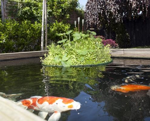 Pflanzeninsel auf Teich mit Kois